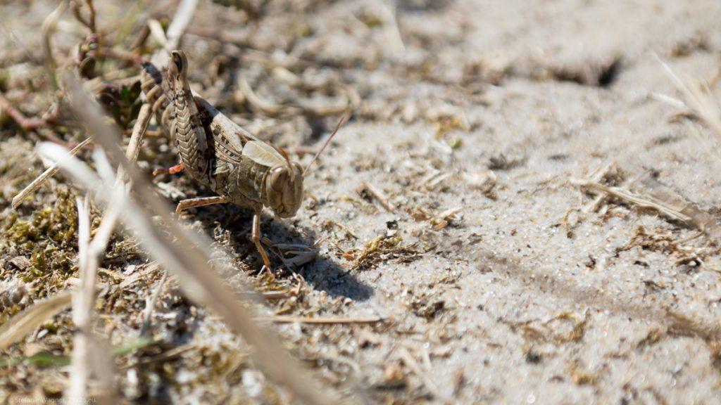 A brown grashopper on sand