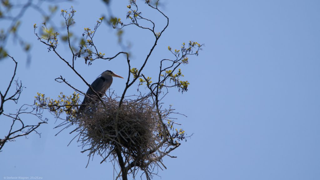 Gray heron sitting on its nest
