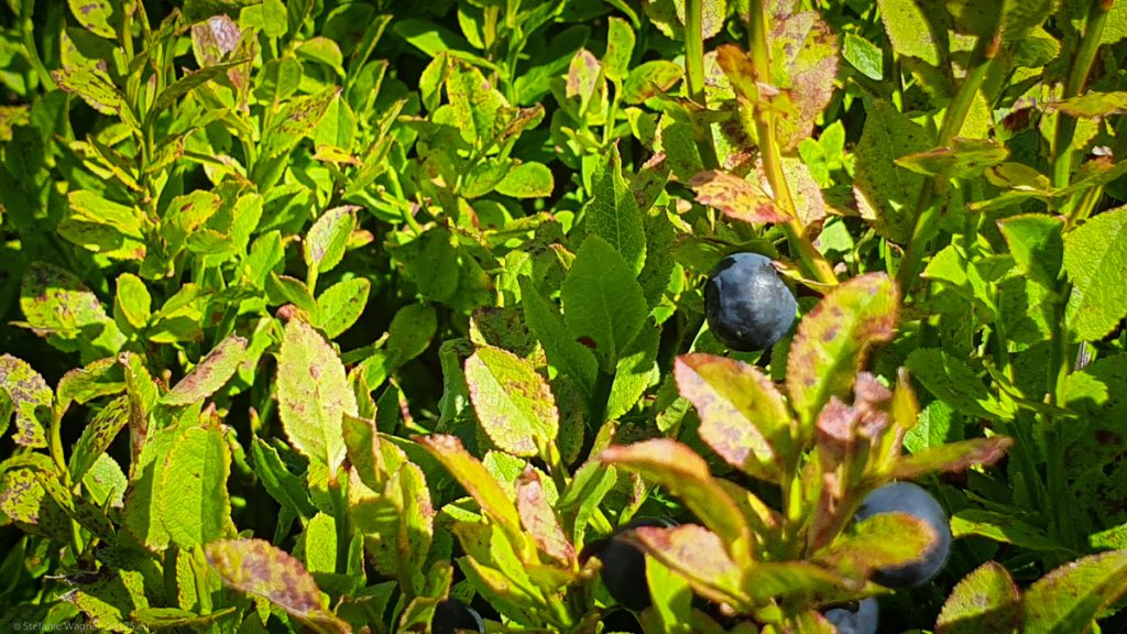 Closeup of one bush with two blue berries attached to it