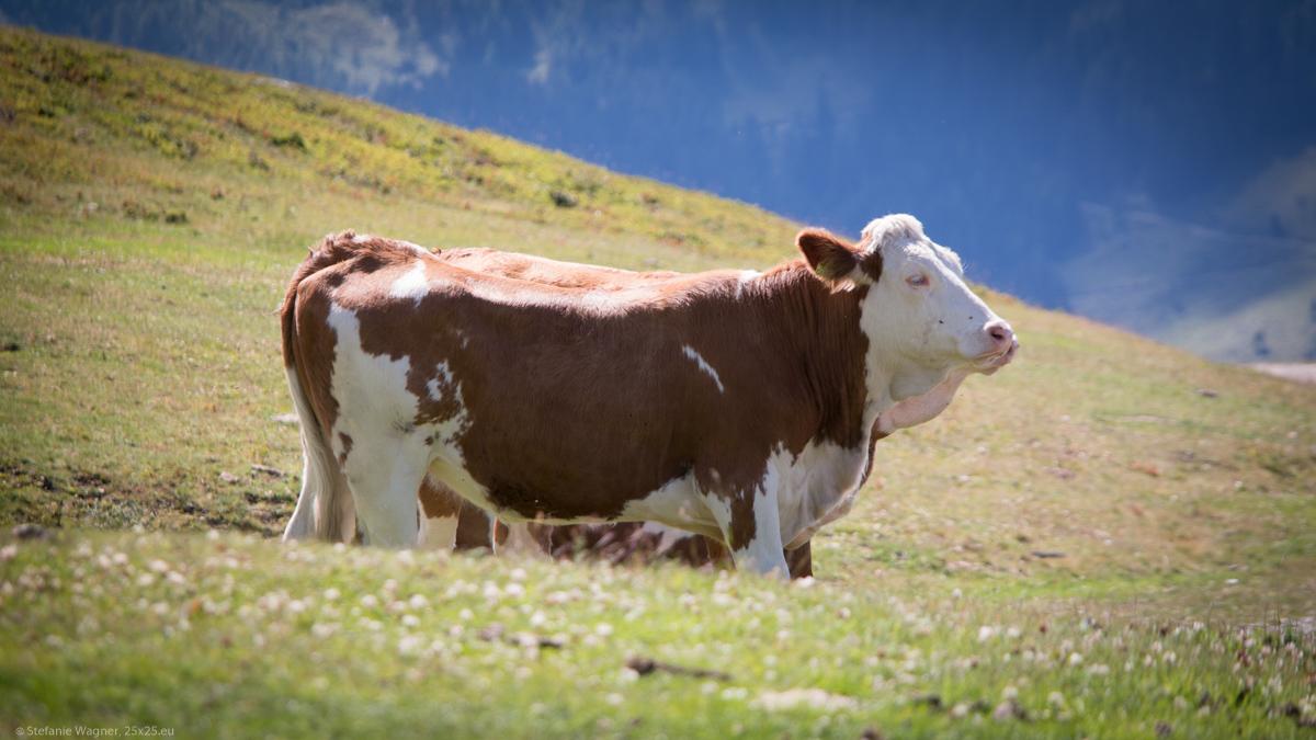 Cows on peaks – Goldeck
