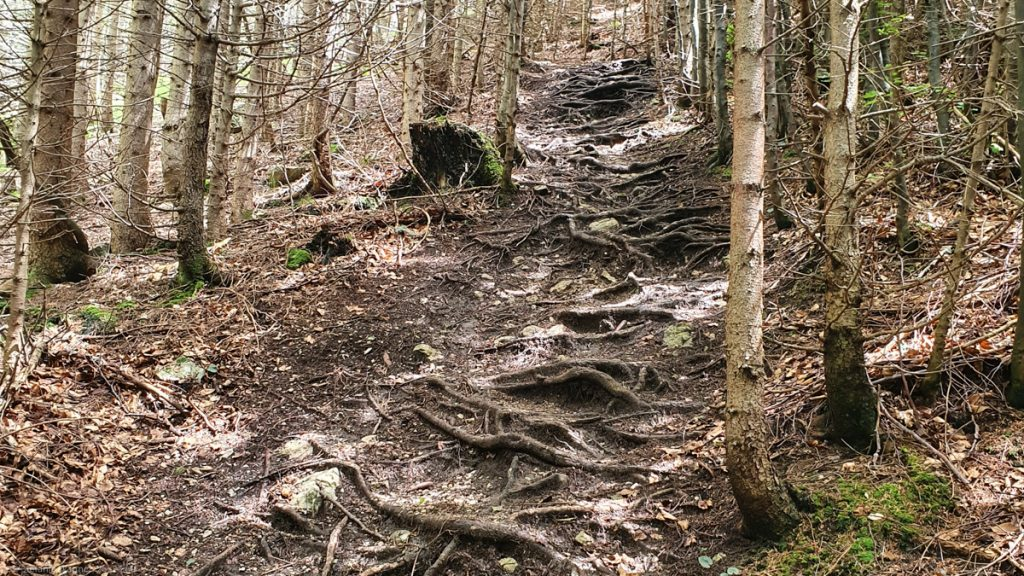 More roots on a steep path in between trees