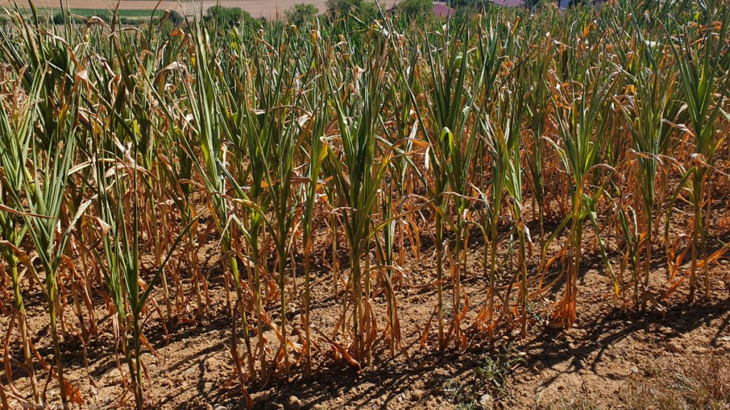 Cornfield, with plants being brown at the lower half