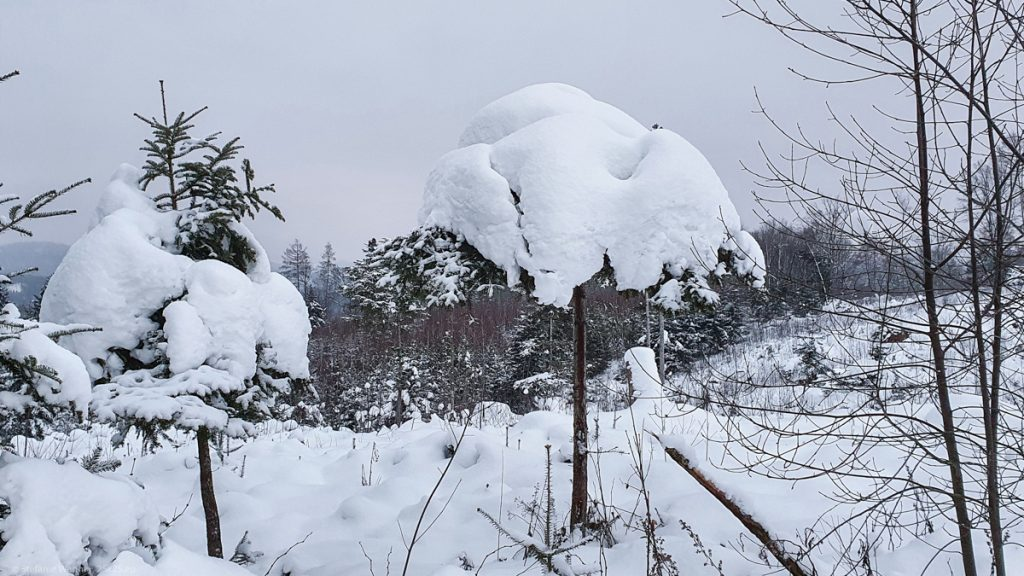 Small tree, only branches at the top that are fully covered by snow. looking like a cap